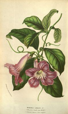 Bignonia callistegioides Cham. [as Bignonia lindleyi DC.]