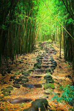 Maui.  Bamboo forest along the Pipiwai trail to Waimoku Fall in the Kipahulu area of Haleakala National Park