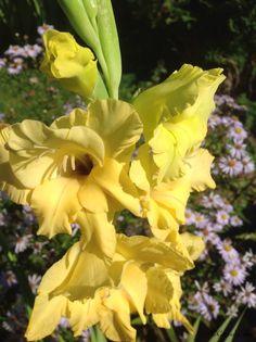 Gule Gladiolus