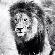stock photo, daytime, nature, nobody, outdoors, wildlife, black-and-white, animals, cat, majestic, natural-world, africa, male-animal, animal-hair, beauty, mane, lion, feline, jungle, king, pop, blackandwhite, bw