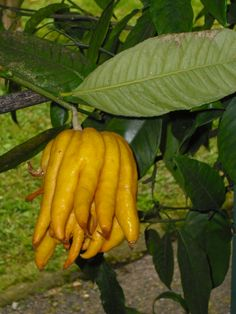 this citrus is called Buddha's Fingers! odd shape!