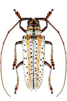 Deliathis quadritaeniator