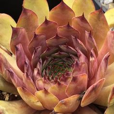 Sempervivum 'Choctaw'