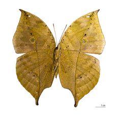 Indian Leafwing Butterfly (Kallima paralekta)