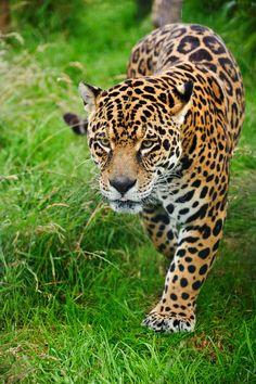 Cat Photograph - Stunning Jaguar Panthera Onca Prowling Through Long Grass by Matthew Gibson Jaguar Animal, Jaguar Leopard, Big Cats, Cool Cats, Beautiful Cats, Animals Beautiful, Jaguar Wallpaper, Amazing Beasts, Animals And Pets