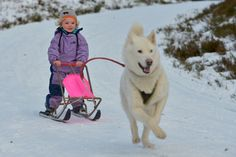 Sled Dog Rally in Feshiebridge, Scotland. Photo: Jeff J Mitchell, Getty Images A Husky, Cairngorms, Three Year Olds, Sled, Our Baby, Family Activities, Calgary, Great Britain, Baby Strollers