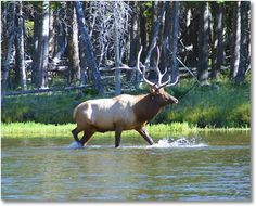 Bull Elk in Madison River, Yellowstone National Park
