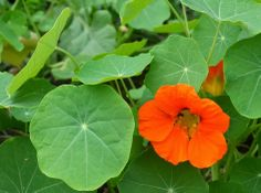 Plant nasturtiums in the vegetable garden to keep bad bugs from eating your vegetables.