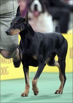 Protocol's Veni Vidi Vici, a Doberman pinscher, who won its group, runs during the judging of the Working Group at the 136th annual Westminster Kennel Club dog show in New York, Tuesday, Feb. 14, 201 Read more at http://www.toledoblade.com/gallery/Westminster-Dog-Show#UdBIsOVvusRsIZUt.99