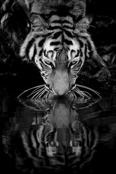 Imagine a world where they no longer exist? Tiger r flection That would be incredibly sad. The Siberian Tiger Reflections Beautiful Cats, Animals Beautiful, Cute Animals, Wild Animals, Baby Animals, Panthera Tigris Altaica, Gato Grande, Tiger Love, Black Tigers
