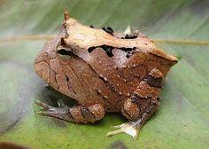 Amazon Horned Frog aka the Pacman frog; image credit: mariannesmarinas.blogspot.com