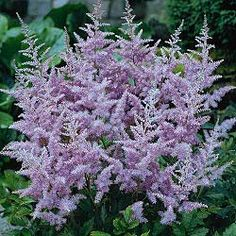 'Amethyst astilbe' - Partial Sun to Full Shade.  Maybe in the area next to the entry way.
