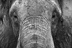 Featured Friday Photo - Amboseli Elephant. Http://lagringaphotos.com/kenya