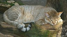 Wildcat (Felis silvestris gordoni) - shorty chillin' at the zoo, Czech Republic