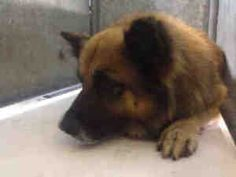 A4476073 URGENT DOWNEY SHELTER is an adoptable Chow Chow Dog in Downey, CA. **WE NEED VOLUNTEERS TO POST & REMOVE PETS ON PETFINDER. IF YOU CAN COMMIT TO THE CAUSE OF HELPING SAVE SHELTER ANIMALS, PLE...