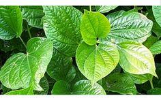 Daun Yang Bermanfaat Bagi Kesehatan http://www.perutgendut.com/read/daun-yang-bermanfaat-bagi-kesehatan/4894 #Food #Kuliner #News #Health