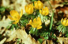 Téltemető (Eranthis hyemalis, Ranunculaceae) (Turcsányi Gábor felvétele) védett
