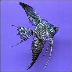 Black Angel Fish