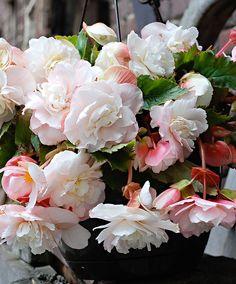 Begonia odorata 'Angelique' | Geurende hangbegonia |