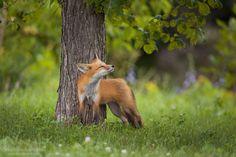 Mmm I love the smell of spring... 365 days fox marathon Day 237 #365daysfoxmarathon #photography #wildlife