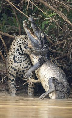 Panic: The powerful cat sunk its teeth into the caiman's throat as the reptile thrashed in a desperate attempt to break free Astonishing photos capture battle between a jaguar caiman ella ella' underwater pictures Panic: The powerful c Animals And Pets, Funny Animals, Cute Animals, Reptiles And Amphibians, Mammals, Beautiful Cats, Animals Beautiful, Big Cats, Cute Cats