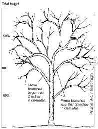 Growing black walnut : Yard and Garden : Garden : University of Minnesota Extension Pruning Fruit Trees, Tree Pruning, Trees For Front Yard, Black Walnut Tree, Tree Diagram, Victory Garden, University Of Minnesota, Trees And Shrubs, Cool Pictures