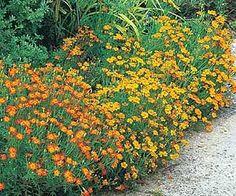 Fleurs robustes pour plates-bandes : œillet d'Inde