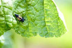 Macro fotografie Een larve van een lieveheersbeestje op een blad in de achtertuin