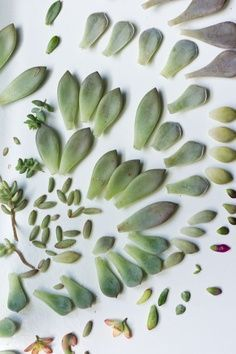 Starting Succulents from Leaves- i love doing this and watching them grow :) you…