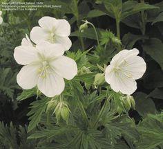 [Meadow Cranesbill] 'Albiflorum' USDA: 4-9, Water: moderate