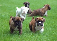 """Get fantastic recommendations on """"boxer puppies"""". They are actually available for you on our internet site. Boxer And Baby, Boxer Love, Baby Dogs, Boxer Dog Breed, Boxer Dog Puppy, Cute Puppies, Cute Dogs, Dogs And Puppies, Doggies"""