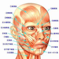 a.顔の筋肉の名称と働き もっと見る