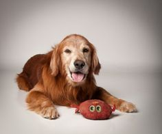 This is Cade and he is 9 years old. He gets along with other dogs, is potty trained and has good house manners. Cade likes to go for walks and is looking for a forever family. He is a sweet, laid back boy and is at  Gold Retriever Rescue And Adoption of Needy Dogs in Kentucky.