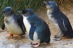 Little Penguin - Little Blue Fairy | Animal Pictures and Facts ...
