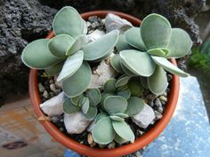 Crassula cotyledonis is a low growing succulent plant, up to 6 inches cm) tall. The leaves are paddle-shaped, tapering towards the base, grey-green. Crassula Succulent, Succulent Gardening, Container Gardening, Crassula Ovata, Types Of Cactus Plants, Cool Plants, Air Plants, Growing Succulents, Cacti And Succulents