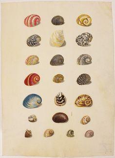 Watercolor semilunar snails or fish maws (Nerita), Natick, bottom or umbilical snail (Natica). Sea Illustration, Vintage Illustration Art, Sibylla Merian, Historia Natural, Painted Shells, Natural Curiosities, Fish Art, Botanical Art, Natural History