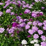 ground cover flowers