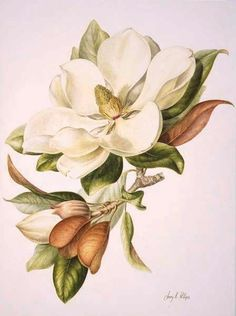 Magnolia Grandiflora by Jenny Phillips Botanical Flowers, Botanical Prints, Watercolor Flowers, Watercolor Paintings, Plant Drawing, Magnolia Flower, Artwork Pictures, Botanical Drawings, Arte Floral