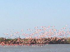 flamingos rosados Meet, Animals, Animaux, Animal, Animales, Animais