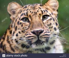 amur leopard face - Google Search