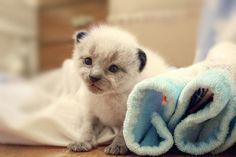 Ollie the Kitten