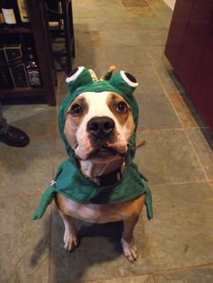 My adorable pibble Bonz in his frog costume.