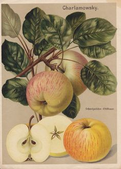 Vintage Printable Apple 'Charlamowsky'
