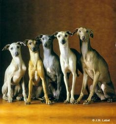 Whippets ~ All Different Sizes and Colors