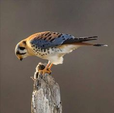 the smallest and most common falcon in North America.measures to inches long with a inch wingspan.often used as a beginner's bird in falconry Raptor Bird Of Prey, Birds Of Prey, Falcon Hawk, American Kestrel, Sounds Of Birds, Power Animal, Game Birds, Big Bird, Bird Art
