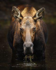 Moose (Grand Teton National Park, Wyoming) Moose Pics, Moose Pictures, Animal Pictures, Wild Life, Wildlife Photography, Animal Photography, Grand Teton National Park, National Parks, Beautiful Creatures