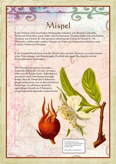 Alte Kräuterbilder Mispel Amazing Tips to make your own Garden Article Body: A look at Plants and th