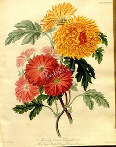 Early Crimson Chrysanthemum, Large Quilled Orange Chrysanthemum      ...