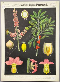 antique botanical wall chart - daphne ca.1900 e5430 #Vintage