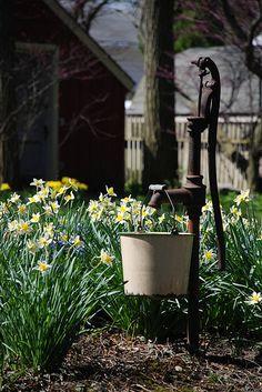 water pump + daffodils #garden